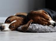 可愛慵懶的獵兔犬圖片