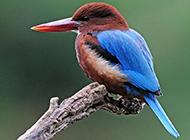 廣西荊棘鳥圖片萌萌噠