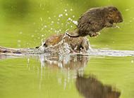 田鼠跳入水中图片大全可爱