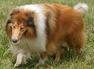 草地上嬉戲的蘇格蘭牧羊犬圖片欣賞