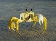 橫行霸道的螃蟹桌面高清壁紙