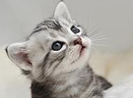 可爱小美国短毛猫银虎斑图片