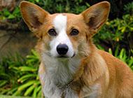 威爾士柯基犬可愛外表圖片