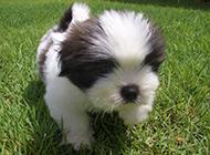 可愛調皮的拉薩犬圖片