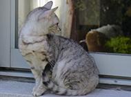 埃及猫图片模样乖巧温顺
