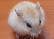 圓滾滾的白布丁倉鼠圖片