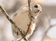 树枝上的小鼯鼠萌萌哒图