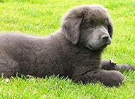 寵物狗紐芬蘭犬安靜聽話圖片