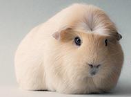 毛茸茸的豚鼠图片大全