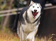 阿拉斯加犬狗狗奔跑圖片