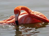池塘里的火烈鸟摄影图片