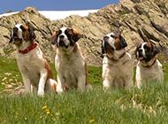 溫順的巨型圣伯納犬戶外寫真圖片