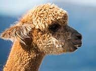 澳大利亚可爱的羊驼高清图片