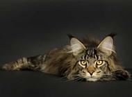美国缅因猫表情慵懒无辜图片