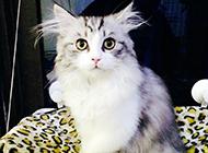 名猫挪威森林猫高贵气质图片