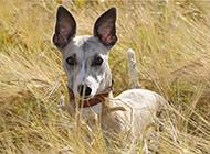 惠比特犬野外草地機靈特寫圖片