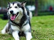 氣質高雅的成年阿拉斯加犬圖片大全