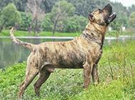 强悍加纳利犬凶猛霸气特写图片
