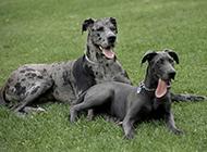 巨型黑色大丹犬草地歇息圖片