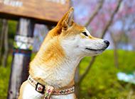 可愛的柴犬唯美高清壁紙