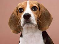 长耳比格猎犬可爱动物狗狗壁纸
