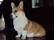 威爾士柯基犬可愛圖片