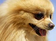 狐貍犬乖巧美麗的幼犬圖片