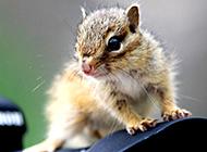 镜头上的小花栗鼠图片