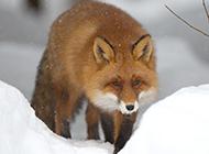 心爱狐狸雪地漫步图片