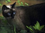 纯种暹罗猫图片姿态百变