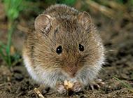 田鼠偷吃食物圖片大全