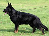 草地休閑玩耍的黑色東德牧羊犬圖片