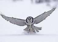 美麗的雪鸮唯美高清圖片