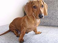 小腊肠犬健壮帅气图片