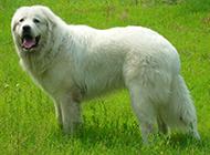 純種白色長毛大白熊犬圖片