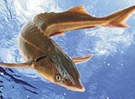 野生中華鱘魚圖片高清壁紙
