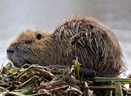 廣西海貍鼠實拍圖片欣賞