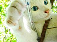 藍眼白貓身手敏捷圖片壁紙