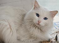 长毛蓝眼白猫图片萌死人