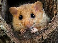 調皮可愛的榛睡鼠圖片