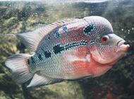 花罗汉鱼色彩斑斓图片
