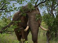 一头孤独的大象超清图片
