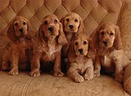 小可卡犬可愛模樣圖片惹人憐