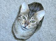 眼神锐利的埃及猫图片