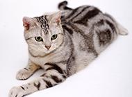 美国短毛猫银虎斑神气图片