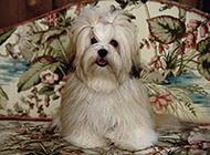 漂亮乖巧的拉薩犬圖片