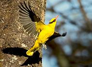 黑枕黄鹂鸟展翅高飞图片