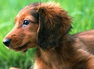 小型腊肠犬眼神真挚特写图片