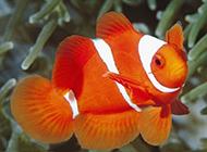 馳騁海底世界的雙帶小丑魚圖片