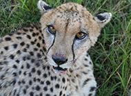 蜥蜴花豹世界各地野生動物組圖